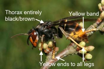 Asian hornet anotated
