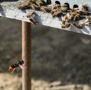 Asian hornet 'hawking'