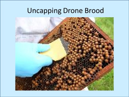 Uncapping drone brood