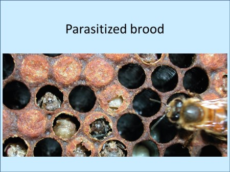 Parasitized brood