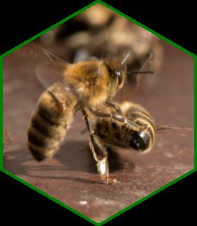 Undertaker bee