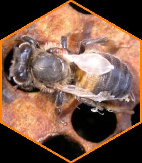 Deformed wing virus