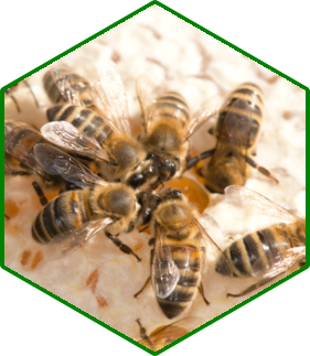 Workers on honey comb